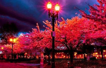 Cherry Blossom Lane, Portland, Oregon