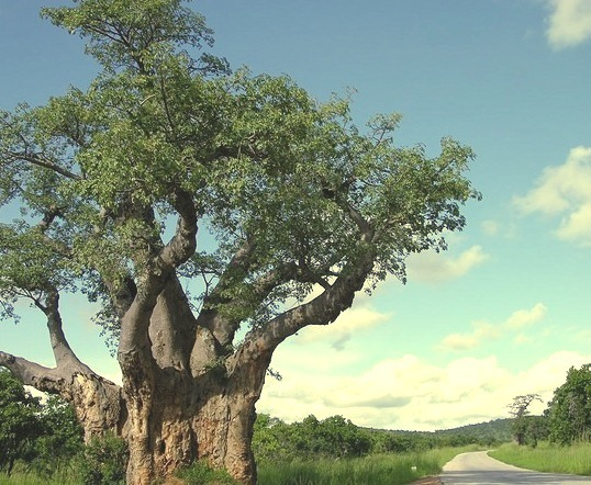 by Mr Sean on Flickr.Road and baobab tree near Kariba, Zimbabwe.