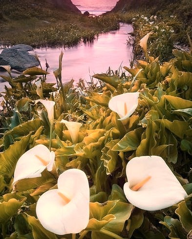 Calla lilies growing along a creek in Big Sur coast, California, USA