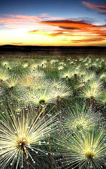 Wildflowers, Cerrado, Mato Grosso, Brazil