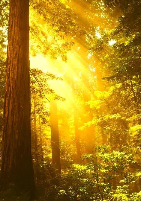 Golden Sunrays, The Redwoods, California